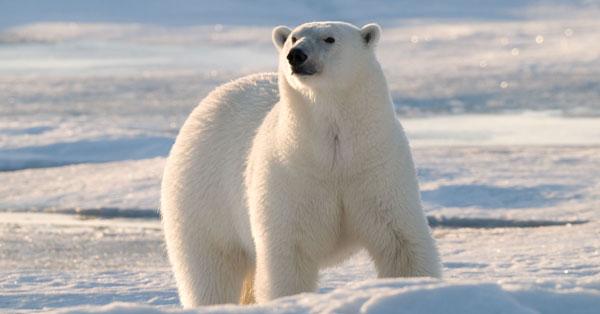 isbjørner global oppvarming